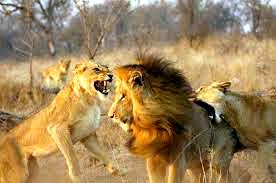 Compétition Lions1