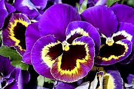 Pensée Fleur1