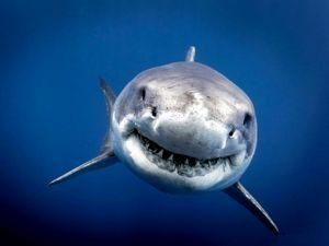 Être proactif requin