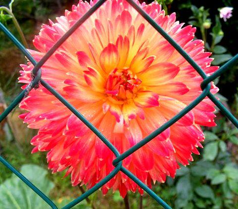 Fleur derrière grillage1